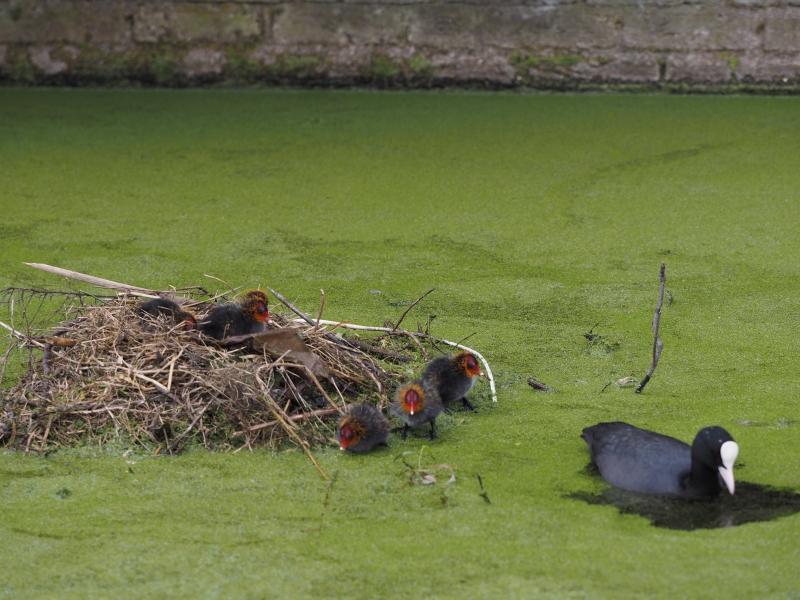 Cock van der Voort, meerkoeten met juist uitgekomen jonge meerkoetjes