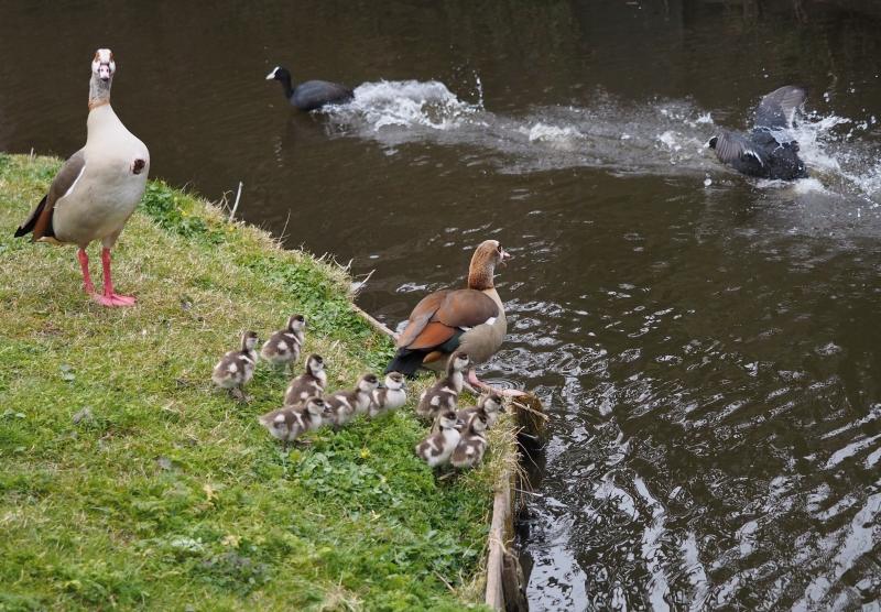 Cock van der Voort, nijlganzen met 10 jongen en vechtende meerkoeten