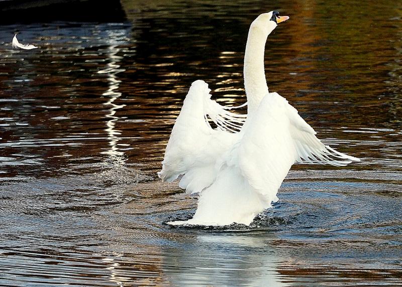 Cock van der Voort, zwaan heeft zich gewassen, zie zwevende veer