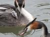 Cock van der Voort, futen voeren jong met visje