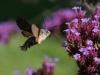 Cock van der Voort, kolibrie vlinder in eigen tuin