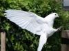 Cock van der Voort, witte duif maakt landing