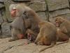 ben van elswwijk apenfamilie - kopie