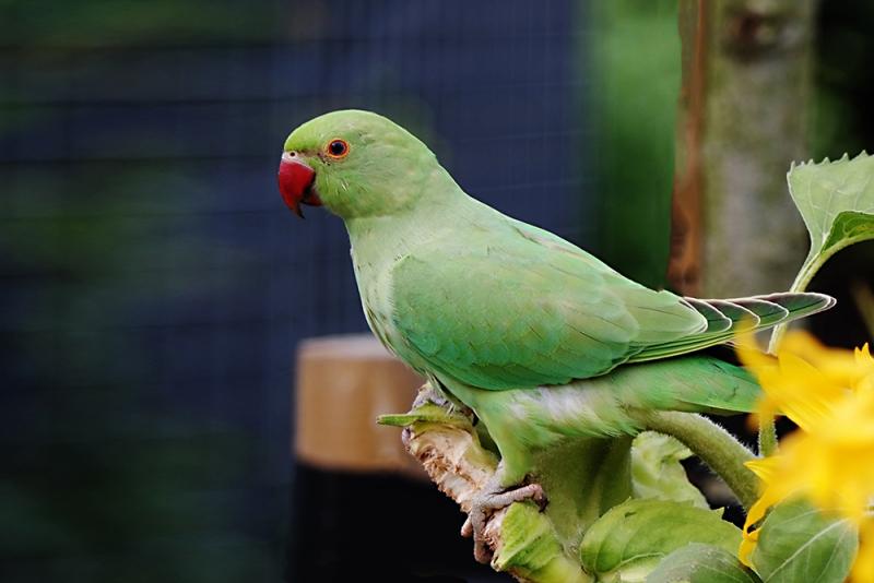 Cock van der Voort, wilde papagaai in onze zonnebloemen