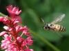 Cock van der Voort, vliegende wesp in eigen tuin