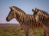 Zebra's in Addo